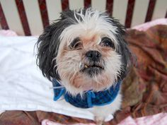 SAFE 12/22/14!  Was TO BE DESTROYED 12/22/14 Manhattan Center. My name is PRINCESS. My Animal ID # is A1023565. I am a female gray and white shih tzu mix. The shelter thinks I am about 10 YEARS old. For more information on adopting from the NYC AC&C, or to  find a rescue to assist, please read the following: http://urgentpetsondeathrow.org/must-read/