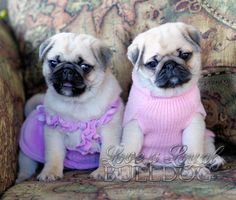 Gorgeous puppy pugs