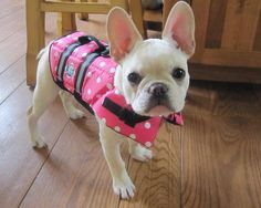 French Bulldog.. Eloise