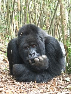This is Guhonda photographed by me in November 2012. He is the largest silverback of the mountain gorillas at present and heads the Sabyinyo group in Rwanda