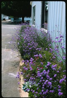 Verbena on a Stick for sale buy Verbena bonariensis Outdoor Landscaping, Front Yard Landscaping, Landscaping Ideas, Landscape Design, Garden Design, Landscape Architecture, Greek Garden, Rabbit Resistant Plants, Hummingbird Plants