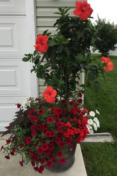 Red tropical hibiscus planted with red and white petunias, red begonias and potato vine. Container Flowers, Container Plants, Container Gardening, Hibiscus Plant, Hibiscus Flowers, Florida Landscaping, Front Yard Landscaping, Garden Yard Ideas, Garden Planters