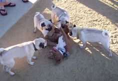 who said pit bulls r mean...it looks like those pugs r eating that pit!!!! lol