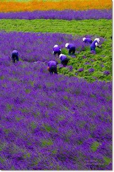 Lavender field, Hokkaido, Japan -- Imagine living near these fields ! The glorious scent of lavender in the air ! Lavender Blue, Lavender Fields, Lavender Garden, Purple Garden, Lavender Cottage, French Lavender, Lavender Sachets, Shades Of Purple, Green And Purple