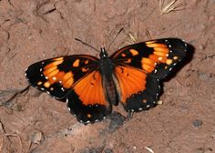 Butterflies of the Andes - Chlosyne lacinia@@