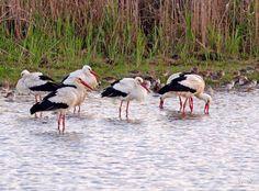 Agamon Hula, Israel - white storks - Photo: Yochi Levanon https://www.facebook.com/AgamonKKL/photos_stream