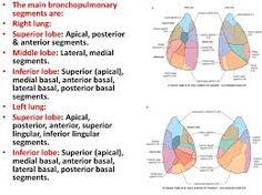 Résultats de recherche d'images pour «lung lobes with segments»