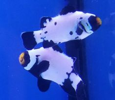 Clownfish Pair for Sale Online Marine Aquarium Fish, Live Aquarium Fish, Marine Fish, Saltwater Aquarium, Saltwater Fishing, Fish For Sale, Fish Stock, Live Fish, Tropical Fish