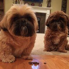 Shih Tzus ... Freddie and Jack