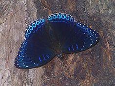blue velvet  (Popinjay -Stibochiona nicea)    ~fsmodel@flikr
