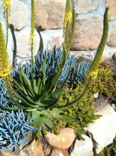 Bulbine, Senecio, and Sedum - Desert garden - Arid landscape