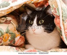 lovely black and white cat warming in a  blanket