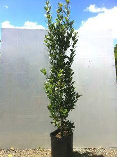 Bay laurel (Laurus Nobilis) - Laurus nobilis / good for hedging / NZD 115 for Laurus Nobilis, Tree Company, Big Tree, Hedges, Ecology, Evergreen, Fence, Trees, Gardens