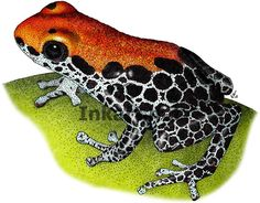 Reticulated Poison Dart Frog (Dendrobates reticulatus) Line Art ...