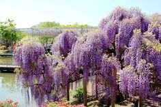 Wisteria (known as fuji in Japan)  - Ashikaga Flower Park, Japan