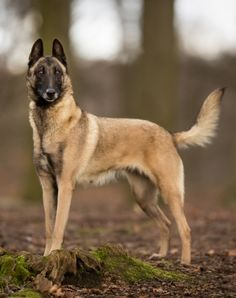 Learn about the Belgian Malinois dog breed.