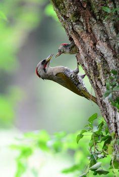 Japanese green woodpecker (Picus awokera)  アオゲラ