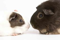Are your guinea pigs fighting? Find out why this is happening in my latest article. Also how to prevent and stop fighting. Diy Guinea Pig Cage, Baby Guinea Pigs, Guinea Pig Care, Baby Pigs, All About Animals, Selling On Ebay, Fur Babies, Pets, Baby Ideas