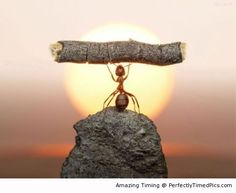 Little ant caught weight lifting – Weight lifting challenge accepted. The little ant struts its stuff.