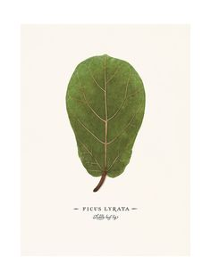The fiddle-leaf fig tree has become a staple in contemporary interior design. Known for its large, graphic leaves, Ficus lyrata adds unmistakable style and drama to any space. I made this print for those of you who, like me, have a less-than-green thumb or simply don't have room for a sprawling house plant. I wanted to capture the sophisticated aesthetic we love about the real thing and leave out the inevitable struggle to keep the real thing alive. Just hang it and enjoy.