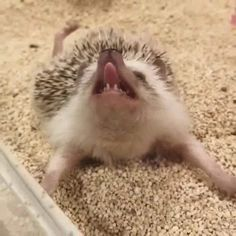 Ever seen a hedgehog stretch? Fluffy Animals, Cute Animals, Funny Animal Videos, Make Me Smile, Stretches, Funny Pictures, Funny Memes, Hedgehogs, Interesting Quotes