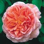 Buy roses - shade - David Austin Roses  Abraham Darby is EXTREMELY fragrant!