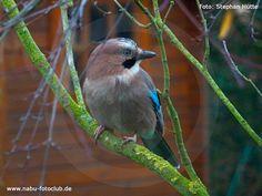 Gescheiter Waldvogel - Der Eichelhäher (Garrulus glandarius)  - https://www.nabu.de/tiere-und-pflanzen/aktionen-und-projekte/stunde-der-gartenvoegel/vogelportraets/03690.html