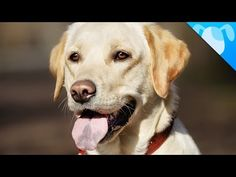 Do you love Labrador Retrievers? What Makes Them So Special? (Video) - http://www.dogisto.com/do-you-love-labrador-retrievers-what-makes-them-so-special-video/