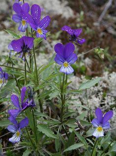 Keto-orvokki - Viola tricolor -orvokkikasvit-eura-fi-Jari Taivainen