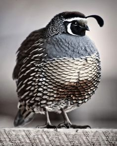 I heart  Calif. quails!