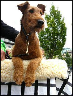 Kelly the Irish terrier