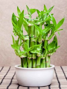 Bamboo garden helps you to pursue gardening, decorate home and moreover at the same time, has got some importance in Feng-shui as well. lucky bamboo is considered the best plant for do something Feng-shui cure for your home. Indoor Garden, Garden Plants, Indoor Plants, House Plants, Indoor Bamboo Plant, Bamboo Plant Care, Lucky Bamboo Care, Lucky Bamboo Plants, Bamboo House Plant