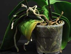 Orchid Care: When and How to Cut an Orchid Leaf