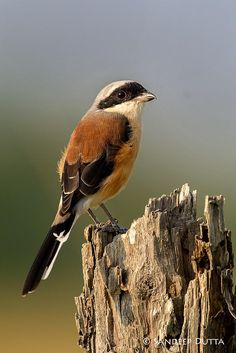 Bay-backed Shrike ( Lanius vittatus) by Sandeep Dutta - member of the Laniidae bird family.