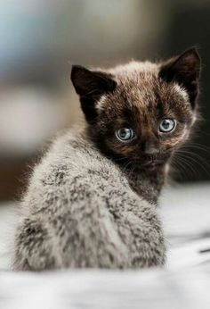 Dark kitten with fever coat. Occurs when a pregnant mother is ill. The kitten sheds this coat after birth and becomes its original color.