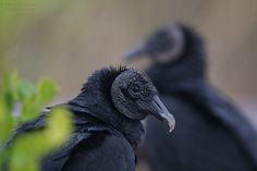 Black Vulture (Coragyps atratus) also known as the American Black Vulture ~ photography of Michel Lamarche