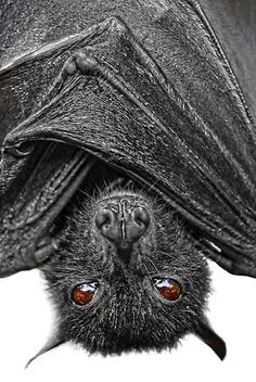a.k.a. megabats, fruit bats, old world fruit bats, or flying foxes. by Yhun Suarez