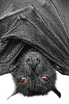a.k.a. megabats, fruit bats, old world fruit bats, or flying foxes. by Yhun Suarez