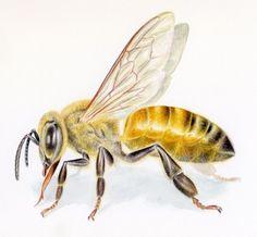 Honey Bee (Apis mellifera)  by Noel Badges Pugh  watercolor