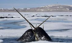 HELP Protect Threatened Narwhal Whales from Seismic Testing!  Tell the National Energy Board to protect narwhal whales from seismic testing and STOP allowing them to be put at risk. PLEASE SIGN AND SHARE WIDELY!  http://www.thepetitionsite.com/845/762/567/protect-threatened-narwhal-whales-from-seismic-testing/?taf_id=13671213&cid=fb_na#