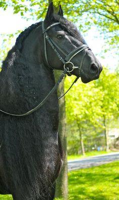 Friesian horse - Dressage