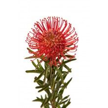 Red Pin Cushion Proteas