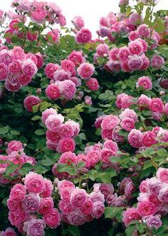 The beauty of romance flowers 😊💖💖💖🌹🌹🌹 Beautiful Rose Flowers, Amazing Flowers, Beautiful Gardens, Beautiful Flowers, Pink Roses, Pink Flowers, Rose Foto, Rosa Rose, David Austin Roses