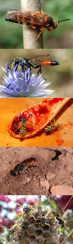 Cinque tipi di vespe che non conoscete