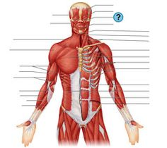 Anterior & Posterior Muscles Flashcards