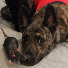 Osiris is a three-year-old Dutch Shepherd. Riff Ratt is a five-month-old fancy rat. They live in Chicago and they're best friends.
