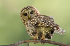 Owl Pictures: Barred Owl