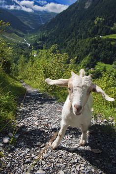outdoormagic: Draw me a little goat . Dessine moi un chevreau . No. 9919. by Izakigur