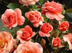 Peggy Gordon - Ludwigs Roses | Interesting colour blend of unusual apricot-brown with russet on the petal reverse. Medium sized buds are borne individually or on candelabra. Attractive, glossy, deep bronze foliage. Very healthy & prolific. She is a real novelty.