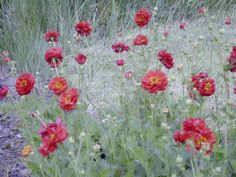Geum 'Blody Mary'